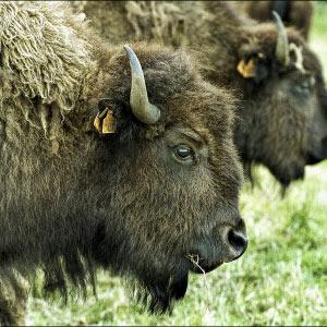 Bison i Morud